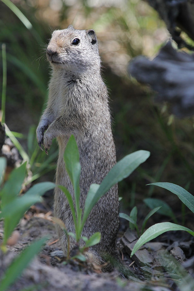 Spermophilus armatus, Uinta Ground Squirrel. Lee Metcalf Wilderness area, near Hebgen Lake, N of West Yellowstone entrance