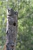 Nest of Colaptes auratus, Northern Flicker,Teton National Forest.
