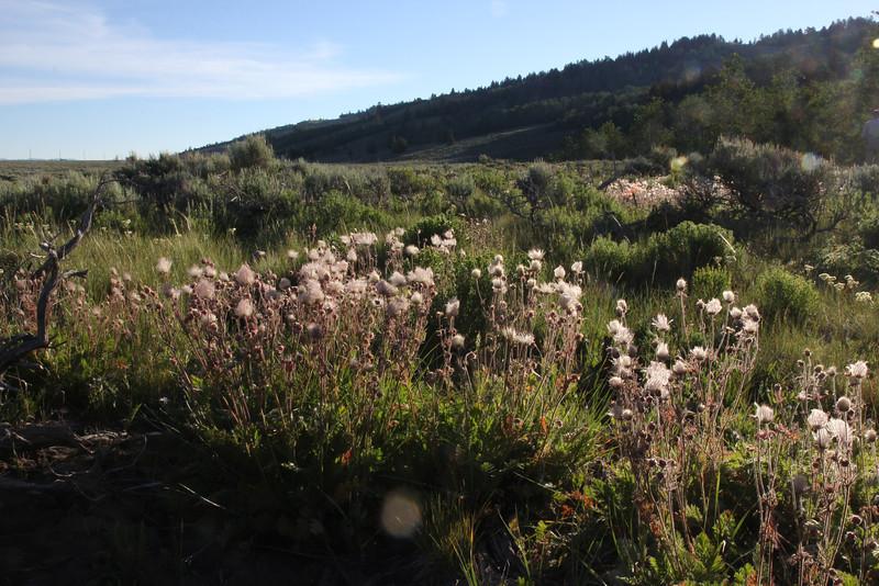 Geum trifolium, Prairie Smoke in seed, Teton National Forest