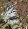 Parnassius phoebus, Phoebus Parnassian,