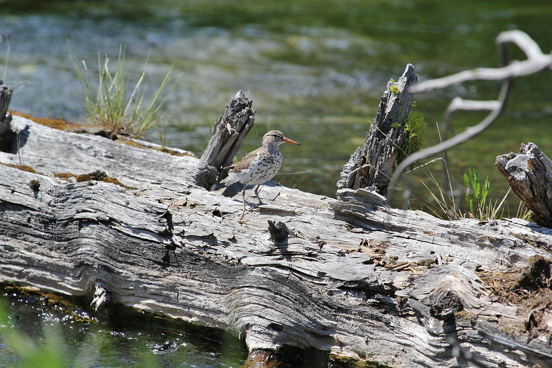 Actitis macularius, Spotted Sandpiper, Firehole River.