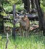 Odocoileus hemionus, female Mule Deer.
