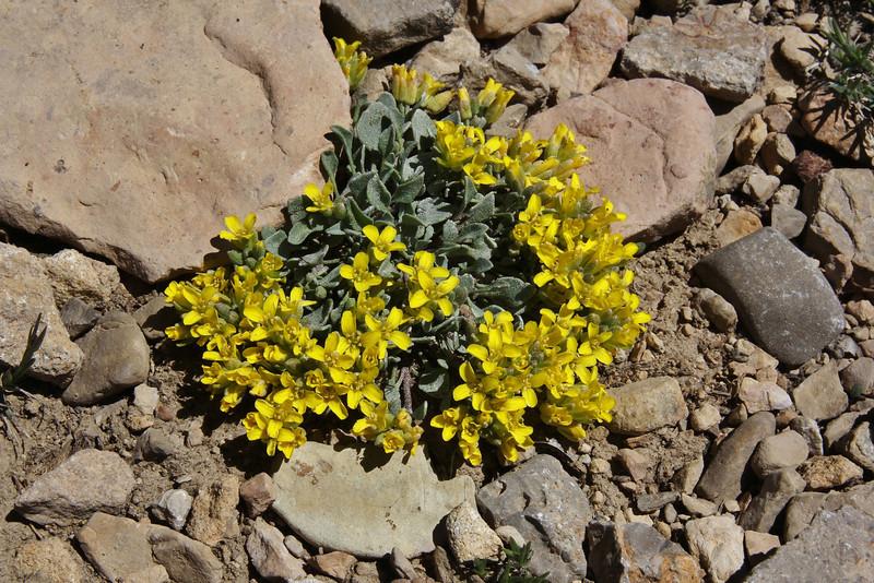 Lesquerella alpina, Alpine Bladderpod, Bridger-Teton National Forest