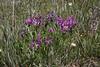 Oxytropis splendens, Showy Locoweed, Mount Washburn 3152m.