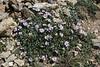 Erigeron cf. purpuratus, Purple Fleabane,? Bridger-Teton National Forest