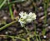 Tofieldia glutinosa, Sticky False-Asphodel.