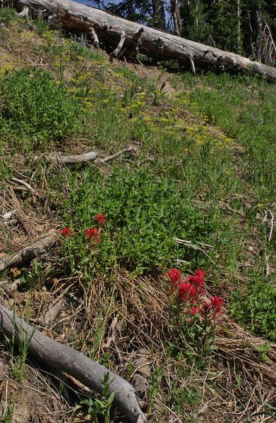 Castilleja rhexifolia, Alpine Indian Paintbrush.