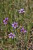 Sisyrinchium idahoense, Idaho blue-eyed Grass, streambank Firehole River.