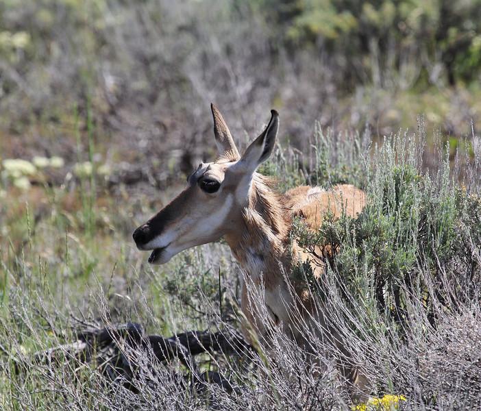 Antilocapra americana, Pronghorn antilope, female. Teton National Forest.