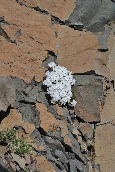 Phlox multiflora, Many-flowered Phlox, lower zone of Mount Washburn 3152m.