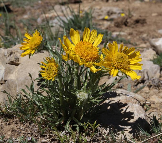 Hymenoxys grandiflora, Alpine sunflower.
