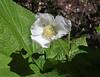 Rubus parvifolius, Thimbleberry, near Jackson Lake.