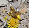 Speyeria callippe on Hymenoxys grandiflora, Callippe Fritillary on Alpine sunflower. Bridger-Teton National Forest
