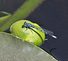 Enallagma boreale on Nuphar polysepalum, Boreal Bluet on Yellow Pond Lily, Isa Lake.