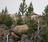 Oreamnos americanus, Mountain Goat near near Mammoth Hot Springs.