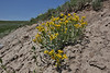 Senecio canus, Woolly Groundsel, Washburn Range.