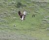 Xanthocephalus xanthocephalus rags Pandion haliaetus, Yellow-Headed Blackbird rags an Osprey near Jackson Lake