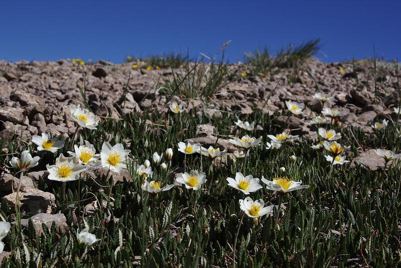 Dryas octopetala var. minor, White Mountain-Avens.