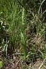 Platanthera hyperborea, Green rein-orchid, Buffalo Fork, Bridger-Teton National Forest.