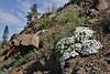 Phlox multiflora, Rocky Mountain Phlox.