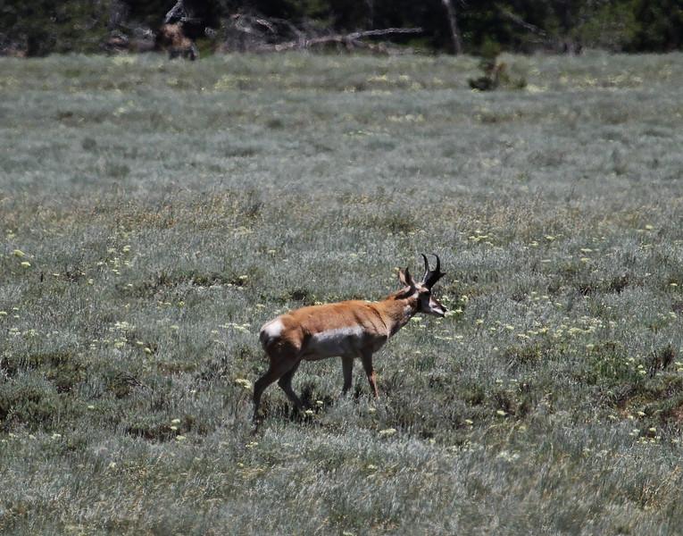 Antilocapra americana, Pronghorn antilope, male, near Jackson Lake.