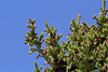 Picea engelmannii, Engelmann Spurce, Bridger-Teton National Forest.