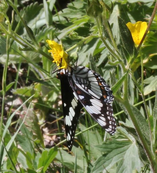Limenitis weidemeyerii, Weidemeyer's Admiral on willow. Buffalo Fork, Bridger-Teton National Forest.