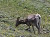 Ovis canadensis,female Bighorn Sheep, Mount Washburn 3152m.