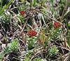 Sedum integrifolium, (syn. Tolmachevia integrifolia or Sedum roseum var. integrifolium), Mount Washburn 3152m.