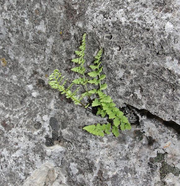 Woodsia glabella, Smooth cliff-fern.