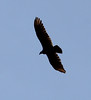 Cathartes aura, Turkey Vulture, Wasatch Range