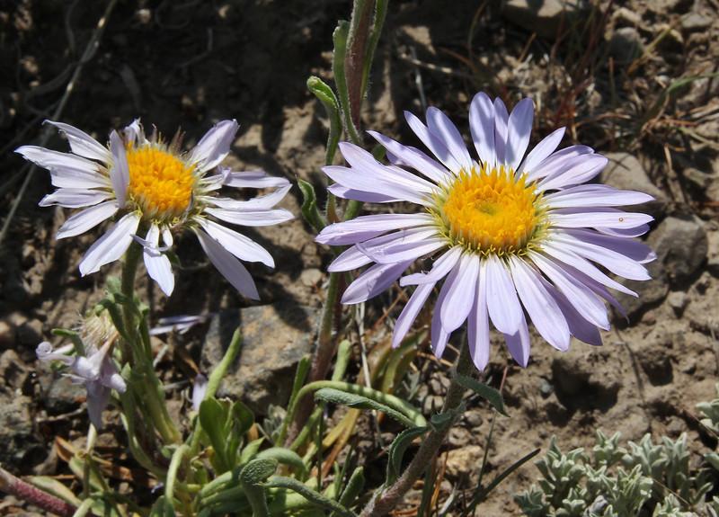 Townsendia parryi, Parry's Townsendia, Washburn Range.