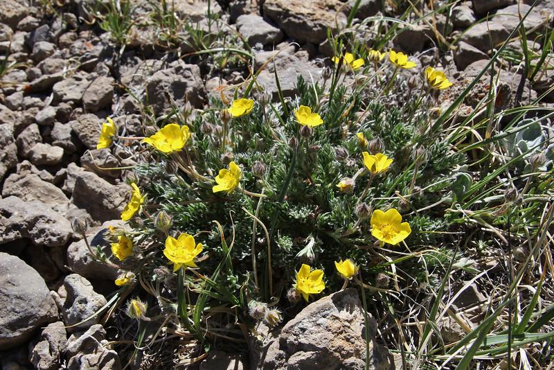 Acomastylis rossi ssp. turbinata, Alpine Avens. Bridger-Teton National Forest