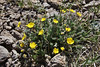 Acomastylis rossi ssp. turbinata, Alpine Avens. Bridger-Teton National Forest