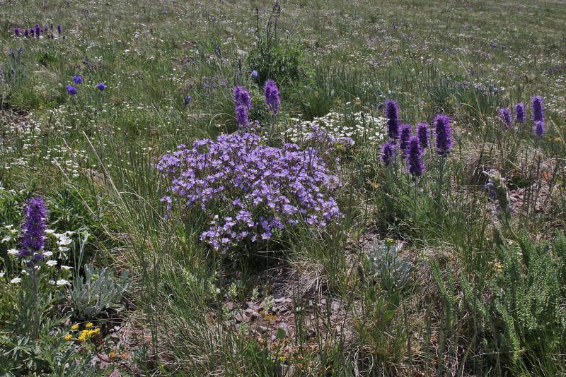 Phacelia sericea and Polemonium pulcherrimum var. pulcherrinum, Mount Washburn 3152m.