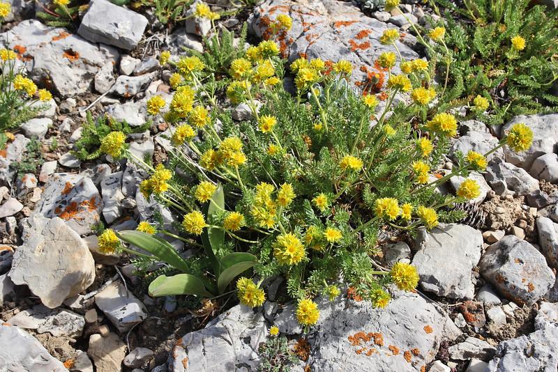 Ivesia gordonii, Bridger-Teton National Forest.