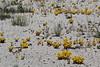 Sedum lanceolatum, Lanceleaf Stonecrop, near a geyser.