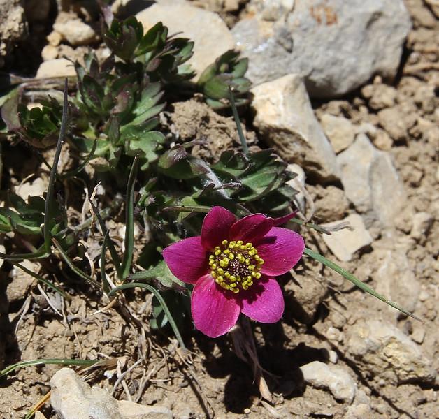 Anemone multifida var. tetonensis,