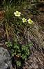 Potentilla glandulosa, Sticky Cinquefoil, Isa Lake.