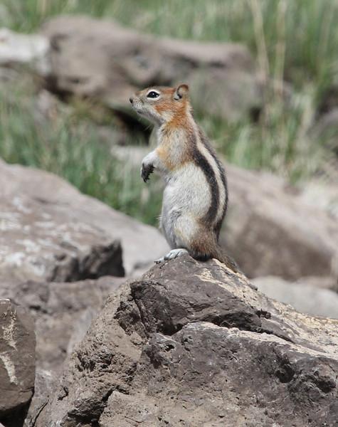 Spermophilus lateralis, Golden-Mantled Ground Squirrel. Bridger-Teton National Forest.