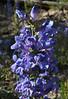 Penstemon cyananthus, Wasatch Penstemon, Geyser Basin.