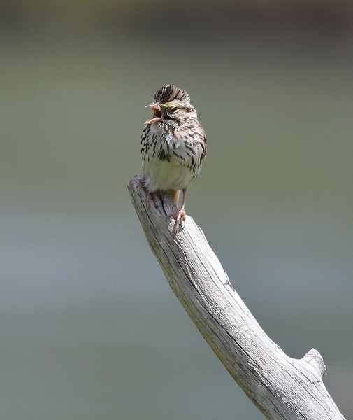 Passerculus sandwichensis ssp. savanna, Savannah Sparrow near Yellowstone River.