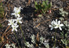 Arenaria congesta, Ballhead sandwort, Geyser Basin.