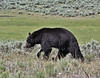 Ursus americanus, Black Bear, female.
