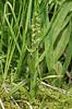 Habenaria hyperborea, (syn. Platanthera hyperborea)
