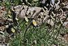 Erigeron compositus, Cut-Leaved Daisy, Bridger-Teton National Forest