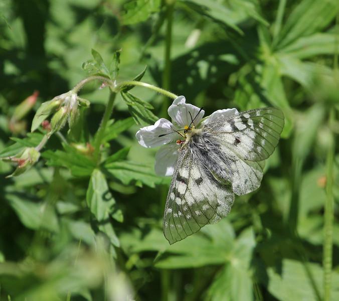Parnassius phoebus, Phoebus Parnassian on Geranium richardsonii, Richardson's Geranium.