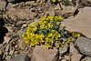 Lesquerella alpina, Alpine Bladderpod, Bridger-Teton National Forest