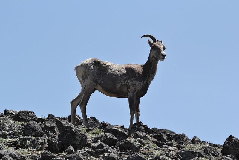 Ovis canadensis, female Bighorn Sheep, Mount Washburn 3152m.