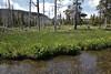 habitat of Mimulus guttatus, Common Monkeyflower, streambank Firehole River.